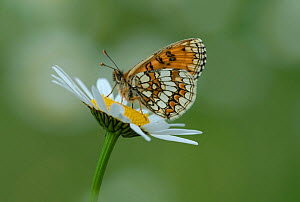 Heath fritillary butterfly (Melitaea athalia) on daisy flower, Pyrenees National Park, France, June.  -  Robert  Thompson