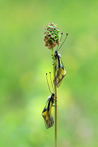 Owly sulphur owlfly (Libelloides coccajus) two resting on flower head, Pyrenees National Park, France, June.  -  Robert  Thompson