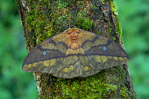 Saturniid moth (Pseudantheraea discrepans) female, central Cameroon.  -  Robert  Thompson