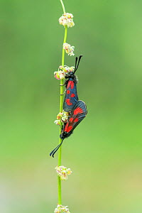Slender scotch burnet moth (Zygaena loti) pair mating, Pyrenees National Park, France  -  Robert  Thompson