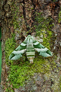 Vega sphinx moth (Proserpinus vega) Arizona, USA. August.  -  Robert  Thompson