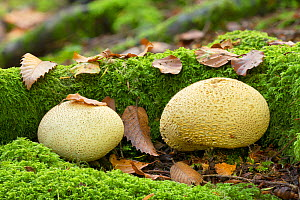 Common earthball fungus (Scleroderma citrinum), Tollymore Forest Park, Newcastle, Co. Down, Northern Ireland  -  Robert  Thompson