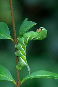 Plain grey hawkmoth larva (Psilogramma increta), Amagaski City, Hyogo, Japan  -  Robert  Thompson