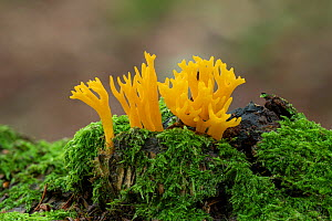 Yellow stagshorn fungus (Calocera viscosa), Tollymore Forest Park, Newcastle, Co. Down, Northern Ireland  -  Robert  Thompson
