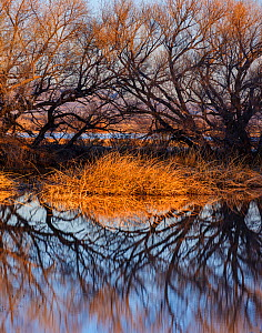 Leafless Cottonwood trees (Populus sp.) and cattails reflected in the water at dawn, Whitewater Draw, Arizona State Game and Fish Reserve, USA. January 2020.  -  Jack Dykinga