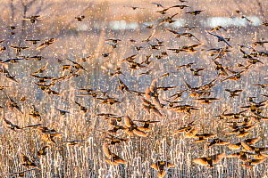 Yellow-headed blackbirds (Xanthocephalus xanthocephalus) flock descending into the marsh cattails at sunset, causing cattail seeds to drift in the air. Whitewater Draw, Arizona State Game and Fish Res...  -  Jack Dykinga