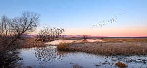 Yellow-headed blackbird (Xanthocephalus xanthocephalus) flock murmuration as they take off from the marsh at dawn, Whitewater Draw, Arizona State Game and Fish Reserve, USA. January.  -  Jack Dykinga
