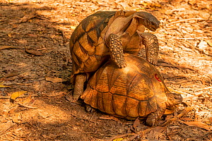 Ploughshare tortoise (Astrochelys yniphora), IUCN Critically Endangered, native to Madagascar, Cheetah Rock conservation breeding programme, Zanzibar, Tanzania.  -  Will Watson