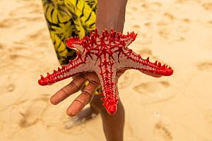 Red-knobbed sea star (Protoreaster lincki), held in the hand, Kwale Island, Zanzibar, Tanzania. January.  -  Will Watson