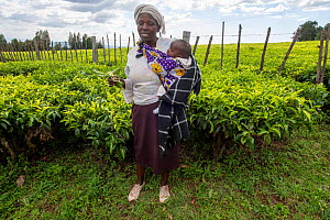 Tea (Camellia sinensis) plantation and woman cooperative plantation worker with her baby, giving a presentation on tea plant growing and harvesting, Kenya, January 2020  -  Will Watson