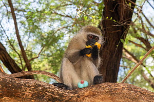 Male Vervet monkey (Chlorocebus aethiops) eating a mango fruit, showing blue scrotum, Samburu Lodge, Kenya. January.  -  Will Watson