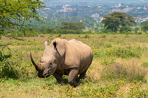 White rhinoceros (Ceratotherium simum), with backdrop of Nakuru City, Lake Nakuru National Park, Kenya, January.  -  Will Watson
