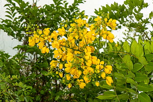 African Senna (Senna didymobotrya) in flower, a leguminous shrub native to Africa, Zanzibar, Tanzania. January.  -  Will Watson