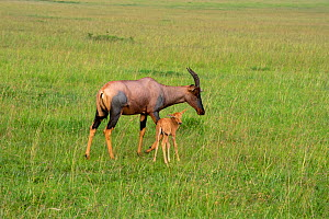 Female Topi (Damaliscus lunatus) with her young calf, Masai Mara National Park, Kenya, January.  -  Will Watson