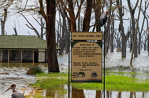 Flooded main gate and sign for Lake Nakuru National Park with Marabou storks (Leptoptilos crumeniferus) and dying Fever Trees (Vachellia xanthophloea) due to flooding caused by climate change, Kenya....  -  Will Watson