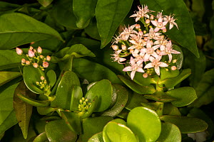 Money tree or Jade plant (Crassula ovata) in flower, Nairobi garden, Kenya. January.  -  Will Watson