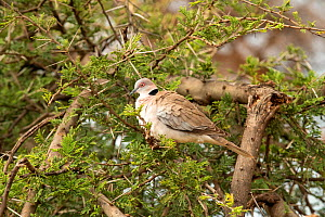 Mourning Collared Dove (Streptopelia decipiens) on Whistling thorn (Acacia drepanolobium), Samburu National Reserve, Kenya. January.  -  Will Watson