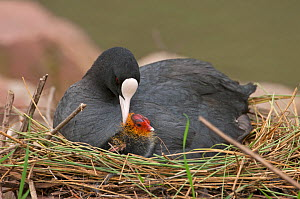 Coot (Fulica atra) at nest with newly hatched chick, Slimbridge, Gloucestershire, England, UK, March  -  David Tipling
