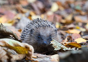 Hedgehog (Erinaceus europaeus) in woodland, Norfolk, England, UK. October.  -  David Tipling