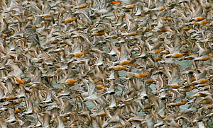 Red knot (Calidris canutus) flock exploding from roost at Snettisham, the Wash, Norfolk, England, UK. August.  -  David Tipling