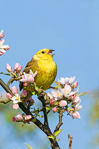 Yellowhammer (Emberiza citrinella) in singing in blossoming tree, Norfolk, England, UK. April  -  David Tipling