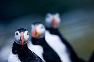 Puffin (Fratercula arctica) group of three, Farne Islands, Northumberland, UK July  -  David Tipling