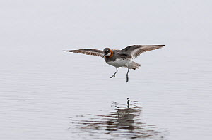 Red-necked phalarope (Phalaropus lobatus) female landing on Loch Funzie, Fetlar, Shetland, Scotland, UK, June.  -  David Tipling