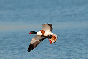Common shelduck (Tadorna tadorna) male in flight, Titchwell, Norfolk, England, U, March.  -  David Tipling