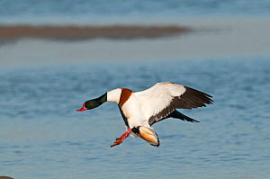Common shelduck (Tadorna tadorna) male in flight, Titchwell, Norfolk, England, UK, March.  -  David Tipling