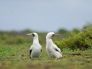 Masked booby (Sula dactylatra) adult and well grown young, Wizard Island, Cosmoledo Atoll. Seychelles  -  David Tipling
