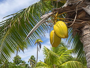 Coconut plantation with Coconut (Cocos nucifera) fruits developing, Astove Atoll, Seychelles  -  David Tipling