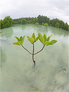 Red mangrove (Rhizophora mucronata), wide angle view, St Francois Atoll, Seychelles  -  David Tipling