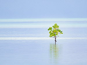 Red mangrove (Rhizophora mucronata) tree, alone on shore, St Francois Atoll, Seychelles.  -  David Tipling