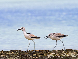 Crab plover (Dromas ardeola) juvenile begging for food from adult, on St Francois Atoll, Seychelles.  -  David Tipling