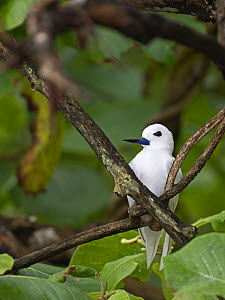 White / Fairy tern (Gygis alba) adult brooding chick on nest in fork of tree, St Francois Atoll, Seychelles  -  David Tipling