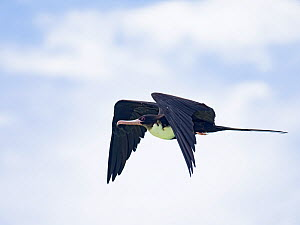 Great frigatebird (Fregata minor) in flight, St Francois Atoll, Seychelles  -  David Tipling