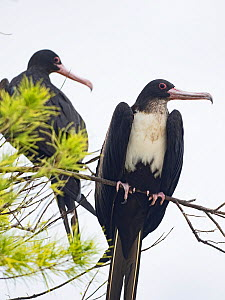 Great frigatebird (Fregata minor) two perched on branch, St Francois Atoll, Seychelles  -  David Tipling