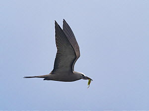Brown / Common noddy (Anous stolidus) flying with seaweed for nest, Alphonse Atoll, Seychelles  -  David Tipling