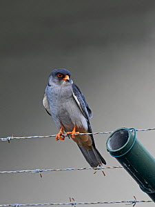 Amur falcon (Falco amurensis) male perched on barbed wire, Mahe, Seychelles.  -  David Tipling