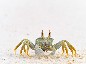 Horned ghost crab (Ocypode ceratophthalma) Wizard Island, Cosmoledo Atoll, Seychelles  -  David Tipling