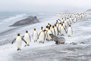 King Penguins (Aptenodytes patagonicus) approached by an Antarctic Fur Seal (Arctocephalus gazella). A few pecks from the penguins caused the seal to retreat. Southern elephant seal (Mirounga leonina)...  -  Ben Cranke