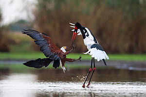 African fish eagle (Haliaeetus vocifer) attacking a female Saddle-billed Stork (Ephippiorhyncus senegalensis )trying to steal a fish it has just caught. Liuwa Plains National Park, Zambia  -  Ben Cranke