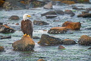 Bald eagle (Haliaeetus leucocephalus) perched on rocks in the Somes Sound at dawn. Acadia National Park, Maine, USA, July.  -  George Sanker