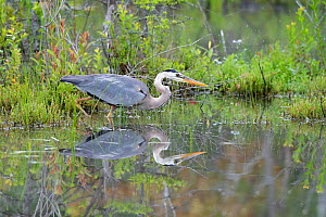 Great blue heron (Ardea herodias) reflected in water, Acadia National Park, Maine, USA.  -  George Sanker