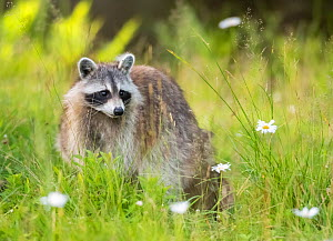 Raccoon (Procyon lotor) among flowers,  Acadia National Park, Maine, USA.  -  George Sanker