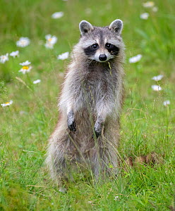 Raccoon (Procyon lotor) standing on hind legs, among flowers,  Acadia National Park, Maine, USA.  -  George Sanker