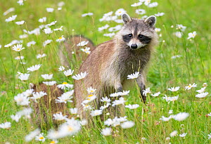 Raccoon (Procyon lotor) female with cub among flowers,  Acadia National Park, Maine, USA.  -  George Sanker