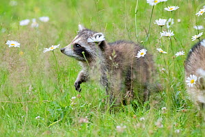 Raccoon (Procyon lotor) cub among flowers,  Acadia National Park, Maine, USA.  -  George Sanker