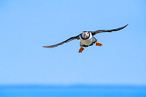 Atlantic puffin (Fratecula arctica) flying against blue sky, Machias Seal Island, off the coast of Maine, USA, July.  -  George Sanker