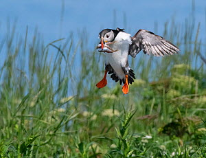 Atlantic puffin (Fratecula arctica) landing, Machias Seal Island, Maine, USA, July.  -  George Sanker